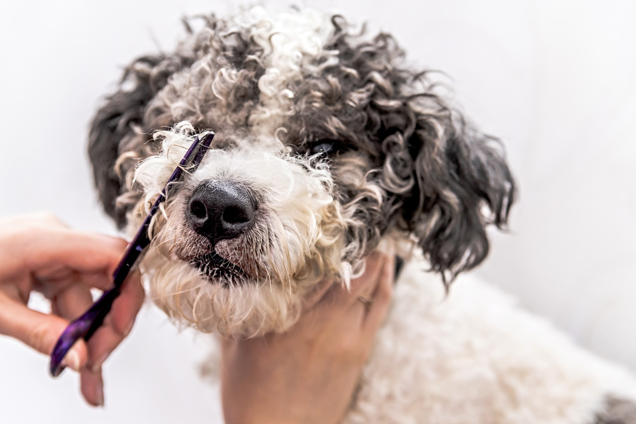 Ein Hundefriseur ist je nach Hunderasse sehr sinnvoll. Foto: ilona.shorokhova via Twenty20